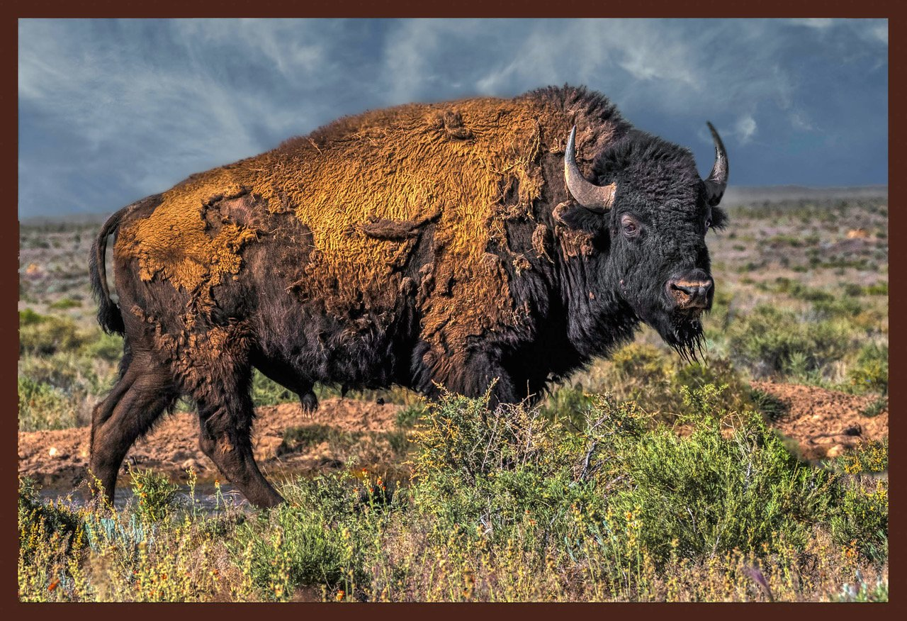 "Dale Maas $100 ""Genetically Pure Bison, Northern AZ"" 21.5"" X 15.5"" (including frame)"